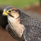 Lanner Falcon by M.S. Photography/Art