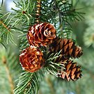 Pine Cones :] by Tracy Faught