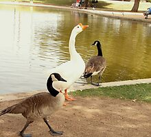 Duck Duck Goose by down23
