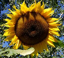 Sunflower by RuthBaker