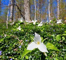 Great White Trillium by Craig Sterken