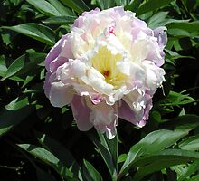 "Peony (Paeonia ""Baroness Schröder"") by Philip Mitchell"