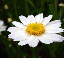 Another Single Daisy by Sanguine