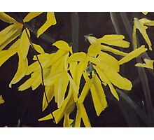 Forsythia Flowers Up-Close Photographic Print