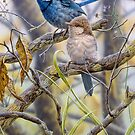 Australian Splendid-fairy Wrens by Christopher Pope