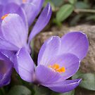 Crocus Blossoms by Lynn Gedeon