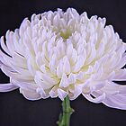 White Glowing Mum Flower by daphsam