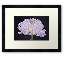 White Glowing Mum Flower Framed Print
