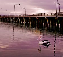 Landscape: Percy the Pelican searches for food near Windang Bridge, Lake Illawarra by Vanessa Pike-Russell