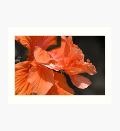 Double Peach Hisbiscus Art Print