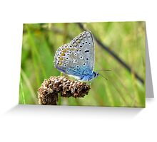 The Silver-studded Blue Greeting Card