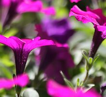 Petunias by Ruth Durose