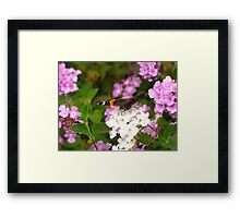 Butterfly ~ Red Admiral Framed Print