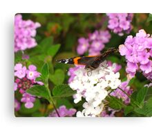 Butterfly ~ Red Admiral Canvas Print