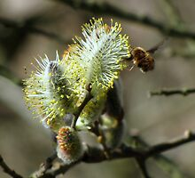 Beefly on pussy willow by Sharon Perrett