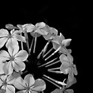 Flower B&W 2 by Cameron Gray