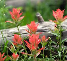 Red Indian Paintbrushes by Jackie Reitsma