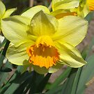 Daffodils again! by Maria1606
