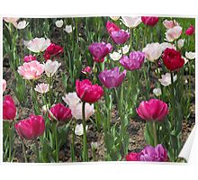 Tulips! Poster