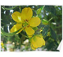 Caesalpinia Mexicana or Cassia 1 Poster