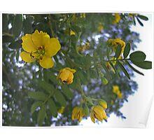 Caesalpinia Mexicana or Cassia 2 Poster