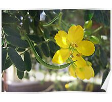 Caesalpinia Mexicana or Cassia 5 Poster