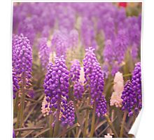 Skagit Valley Muscari Poster