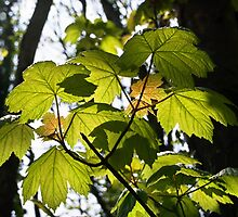 Young Sycamore Leaves by Susie Peek