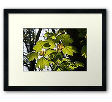 Young Sycamore Leaves Framed Print