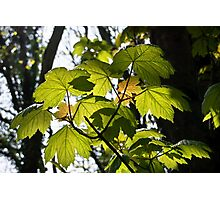 Young Sycamore Leaves Photographic Print