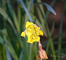 Unopened Daffodil by Amy Goode