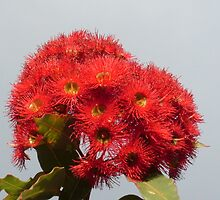 Flowering Gum by Gregory John O'Flaherty