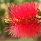Bottlebrush by Jeanne Horak-Druiff