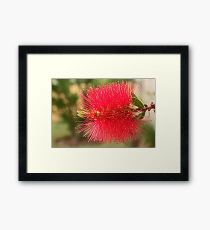 Bottlebrush Framed Print