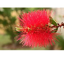 Bottlebrush Photographic Print