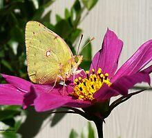 Cabage Butterfly by Carla Jensen