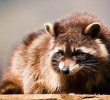 racoon by peterwey