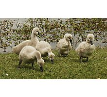 When we grow up, we will be big black swans Photographic Print
