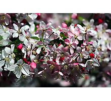 Honeybee Visits Crabapple Blossoms Photographic Print