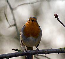 Robin Singing by Nigel Bangert
