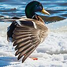 Mallard On Ice by Deb Fedeler
