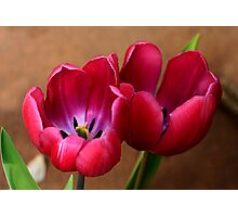 Pink Tulip Pair Photographic Print