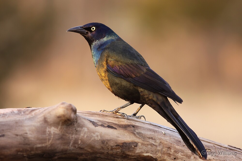 Common Grackle by Gregg Williams