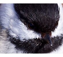 Chickadee: Up close and Personal Photographic Print
