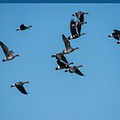Greater White-Fronted Geese In Flight by Deb Fedeler