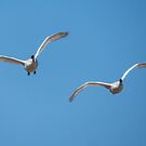 Trumpeter Swan Pair In Flight by Deb Fedeler
