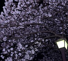 Sakura, by Night by Skye Hohmann
