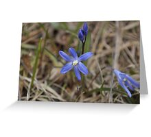 Blue-Purple Scilla Flowers Greeting Card
