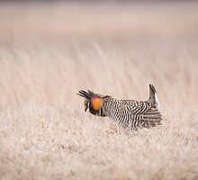 Prairie Chicken 1-2015 by Thomas Young