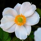Japanese Anemone # 2 by Penny Smith